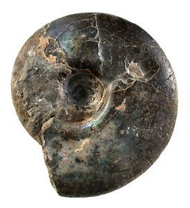 Malm  Craspedites nodiger  Großer Ammonit  Kaspir Samara  Russland  GUS  W99-1