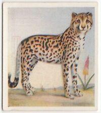 Cheetah L 00004000 arge Cat Wild Feline Cynaelurus jubatus c80 Y/O Trade Ad Card