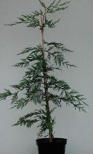 PLANTAS: 50 LEYLANDII PARA SETO 50/60 cm