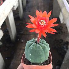 10 pcs succulent Plant Seeds Cactus Matucana madisoniorum