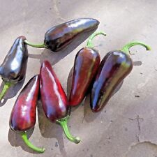 Czech Black hot pepper - a shiny, black pepper with some serious heat