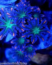 Stunning Rare Green Centre Gold/Orange Tips Clove Polyps 1 Polyp Soft Coral Frag