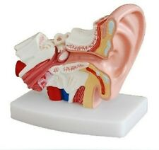 Human Ear Joint Simulation Model Medical Anatomy PVC Plastic Type UK STOCK