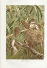 Zwergmaus Maus Farb-Lithographie 1890 Altes Bild Farbdruck Print Zoologie Tiere