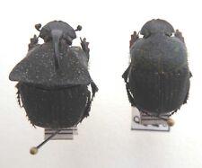 Coleoptera,Phanaeus meleagris pair  ex Satipo, Peru ,  K9/18-19