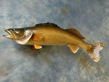 "26"" Real Skin Brand new Walleye Fish Taxidermy Mount Fishing Lodge Cabin Decor"