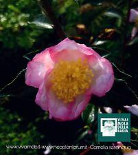 CAMELLIA SESANQUA var. a fiore ROSA  V18 1 Pianta 1 Plant Camelia
