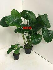 Exotic Live Aquatic Plant Anubias barteri 'wrinkle leave' Mother Pot M036
