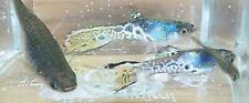 New listing Pair Beautiful Blue Leopard endlers K Class!