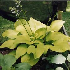 "hosta Key West large yellow gold big disease-free 2.5"" pot= 1 Live Potted Plant"