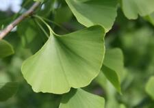 Ginkgo Tree - Maidenhair  Shade Tree Healthy Live 1½ yr old - 3 Bare Root Plants