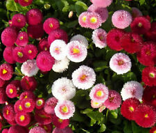 ENGLISH DAISY MIXED COLORS Bellis Perennis Super Enorma - 100 Seeds