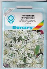 Japanisches Edelweiß Wolfsmilch Bergschnee Euphorbia marginata ca 30 Pflanzen
