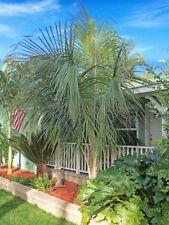 2 Live Beccariophoenix alfredii California Coconut Palm Trees Rare Tropical Live