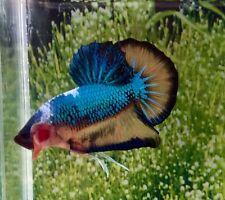 Thai Import Fancy Multicolor Male HMPK Halfmoon Plakat Betta Splenden Live Fish