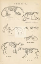 Skeletons of Mammals - Ant Eater, Sloth, Bat, Rat, Sheep. Antique 1880 #B92