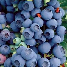 Blueberry Bluecrop Bush Large Blue Purple Fruit 9 cm Pot Plant