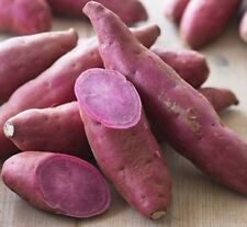 PURPLE FLESH SWEET POTATO Ipomoea batatas root vegetable plant in 100mm pot
