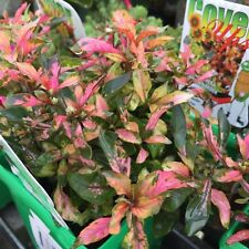 TRICOLOUR Alternanthera colourful border plant in 135mm pot