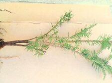 APPALACHIAN MOUNTAIN  EASTERN HEMLOCK TREE 2 FOOT  FRESH STARTER TREE 24 INCHES