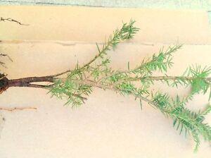 YELLOW MOUNTAIN  EASTERN HEMLOCK TREE 2 FOOT  FRESH STARTER TREE 24 INCHES