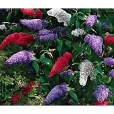 25+ Buddleia Butterfly Bush Mix Flower Seeds  / Perennial