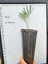 FREE SHIPPING Macrozamia Flexuosa 1Gallon Seedling Encephalartos Cycas Cycad