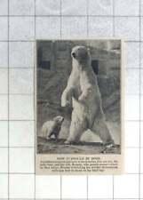 1950 Ivy The Polar Bear And Her Cub Brumas, London Zoo