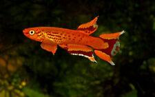 Pair of Aphyosemion australe «Orange» (Stunning Killifish)