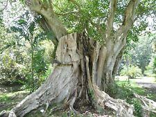 Sacred Fig, Peepul Tree Seeds (Ficus religiosa), 50 seeds