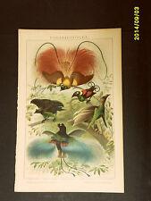 1894_ANTICA CROMOLITOGRAFIA:UCCELLI DEL PARADISO.RARA