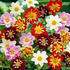 Dahlia Dandy Mix 25 seeds * Cut Flower * Easy grow * CombSH B11