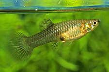 Assorted Female Endlers Poecilia wingei 3 cm Endler's Livebearer Tropical Fish
