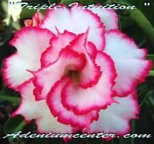 "ADENIUM OBESUM DESERT ROSE TRIPLE FLOWER "" TRIPLE INTUITION "" 10 seeds NEW"