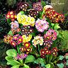 POLYANTHUS - Primrose Auricula MIX - 150 seeds - PRIMULA AURICULA PUBESCENS
