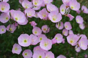 PINK EVENING PRIMROSE SEEDS OENOTHERA SPECIOSA FRAGRANT FLOWER