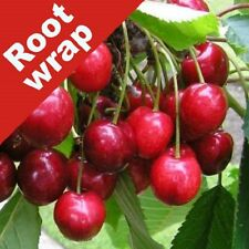 Cherry Tree Lapins Cherokee Bare Root Fruiting Edible Garden Plant Sweet