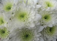 5 BUNCHES OF FRESH WHITE DOUBLE CHRYSANTHEMUMS FLOWERS FOR FUNERAL TRIBUTES