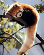 Wall Decor Red Panda Sitting on a tree Wildlife Animal Art Print Poster (16x20)