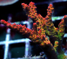 New listing Wysiwyg Live Coral: Pc Rainbow Acropora; Acro Sps Tenuis Tort Mille Deepwater Le