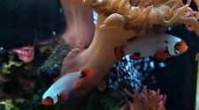 Clown fish: Picasso Snows & Ultra nem: brilliant colors/patterns WYSIWYG