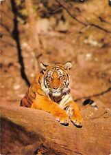 BR89039 tiger tigre   animal animaux