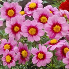 NEW! 15+  DAHLIA MIGNON ROSE COLORED FLOWER SEEDS