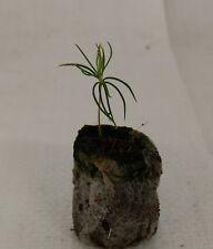 White Spruce, Picea glauca, Christmas Conifer Tree, Plug Plant Seedlings.