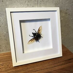 Rhino Beetle Framed Insect Taxidermy