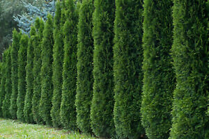 50+ THUJA TREE SEEDS (Thuja occidentalis) White Cedar Arborvitae Hedge Row FAST