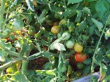 New listing Tomato - Riesentraube Grape - Heirloom - 20 Seeds - German - Great for Preppers