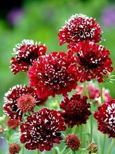 """Scabiosa """"Fire King"""" x 20 seeds. Cut flower. Gift in store.Ask for combined post"""