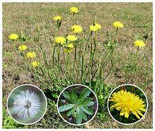 Catsear Wildflower 35+ Seeds ~Hypochaeris radicata~ Edible & Medicinal ~cats-ear