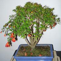 Zimmerpflanze Bonsai i! GRANAT-APFEL-BAUM !i Wintergarten Balkon Terrasse Exot